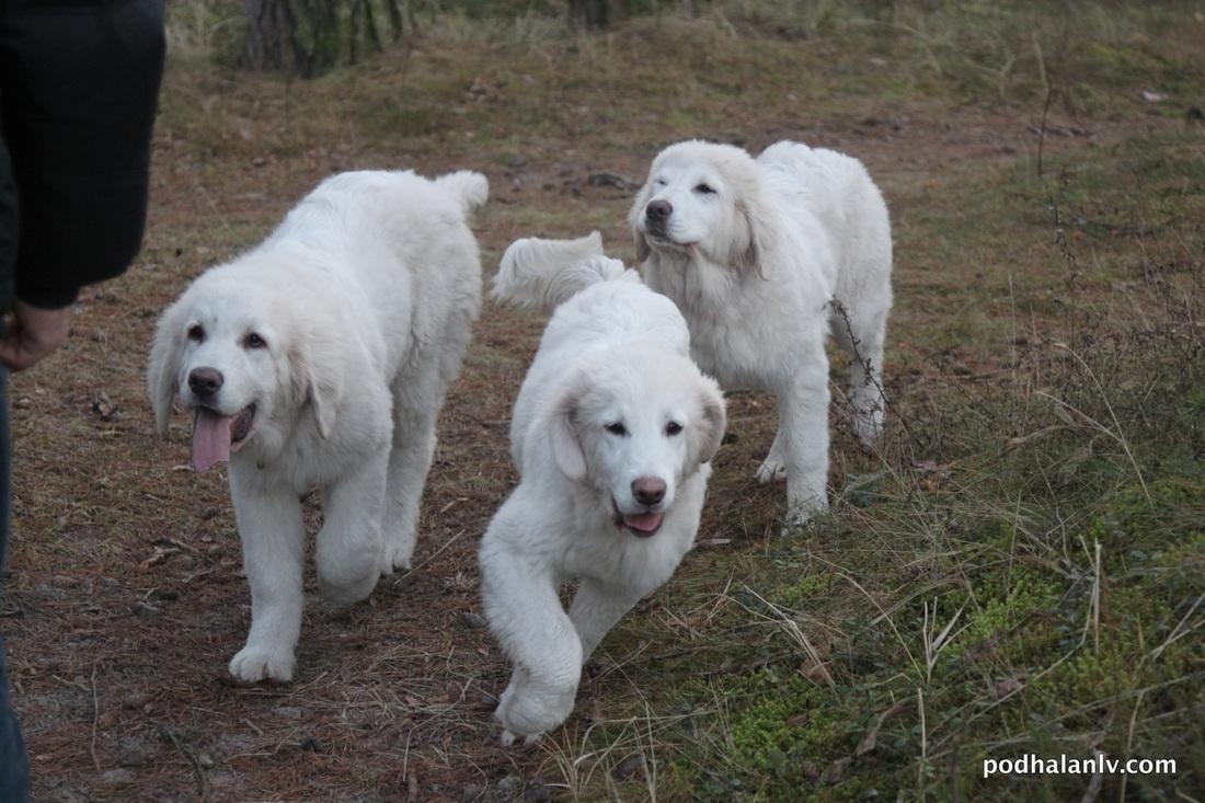 Polish Tatra Sheepdog Dog: Polish Three Polish Tatra Sheepdogs Breed