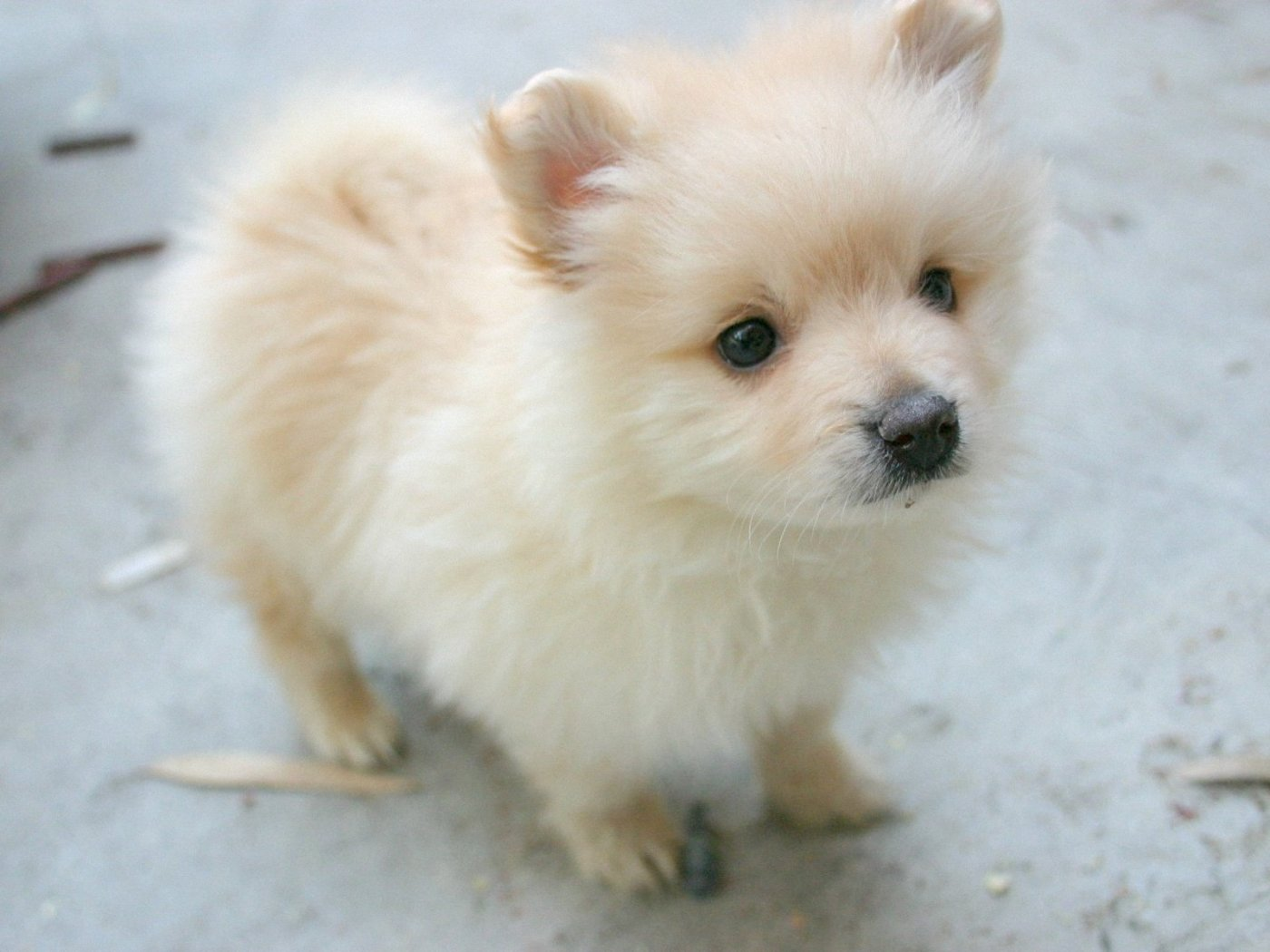 Pomeranian Dog: Pomeranian Cute Pomeranian Dog Breed
