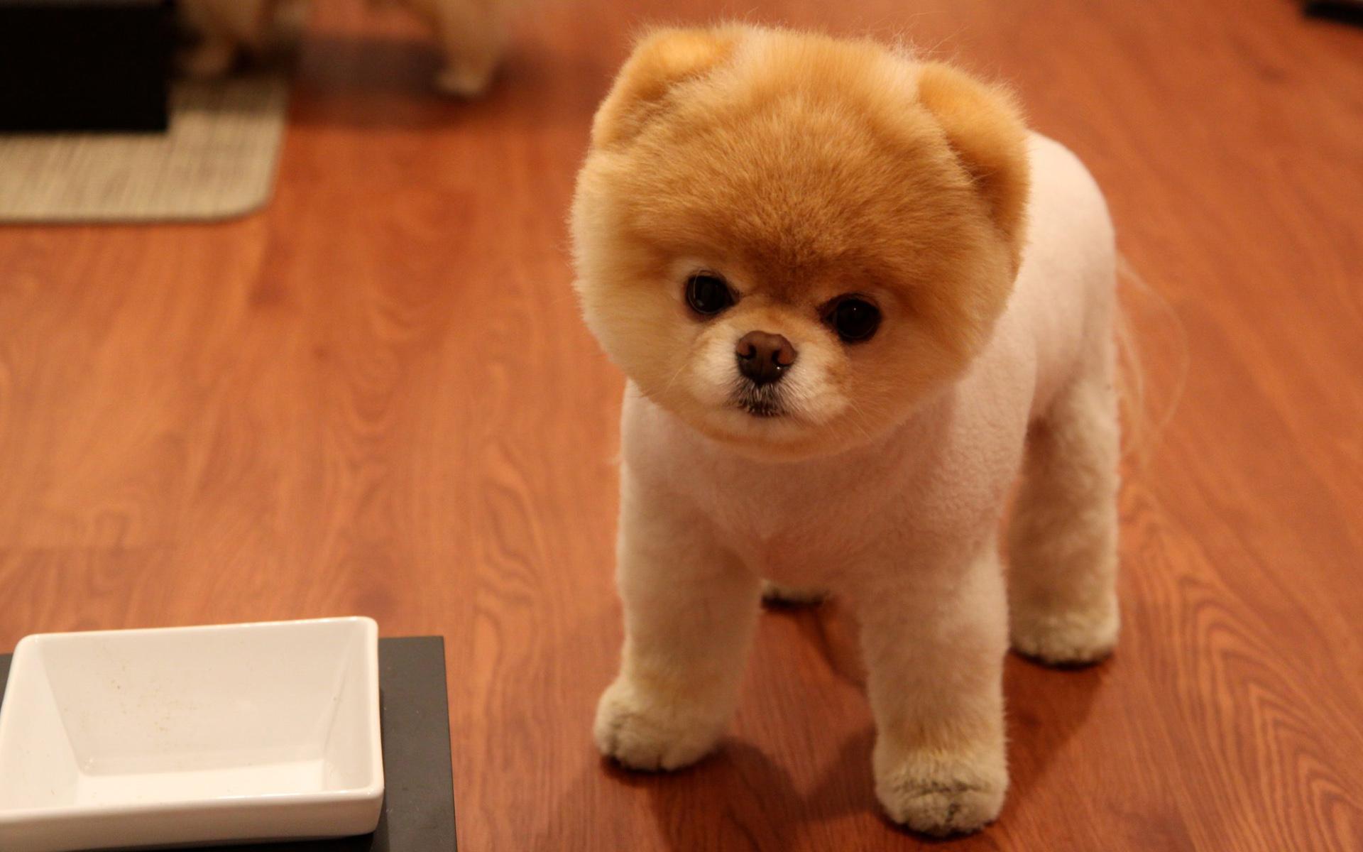 Pomeranian Dog: Pomeranian Cutepomeraniandog S Breed