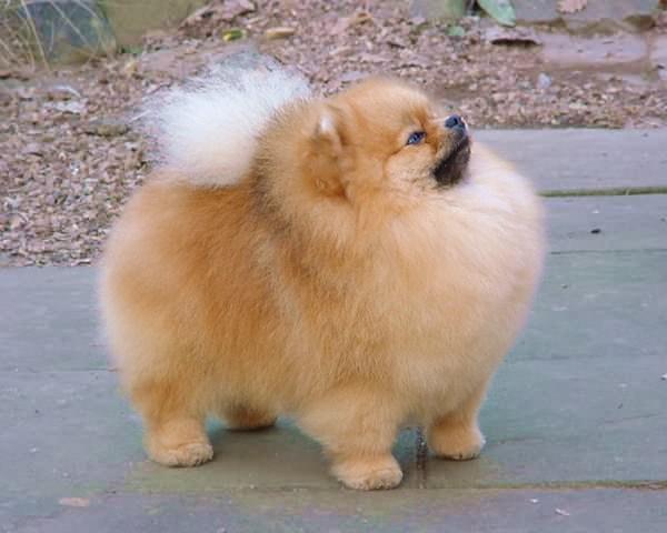 Pomeranian Dog: Pomeranian Dog Pomeranian Breed