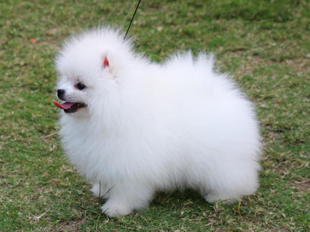 Pomeranian Dog: Pomeranian Pomeranian Dog Breed S