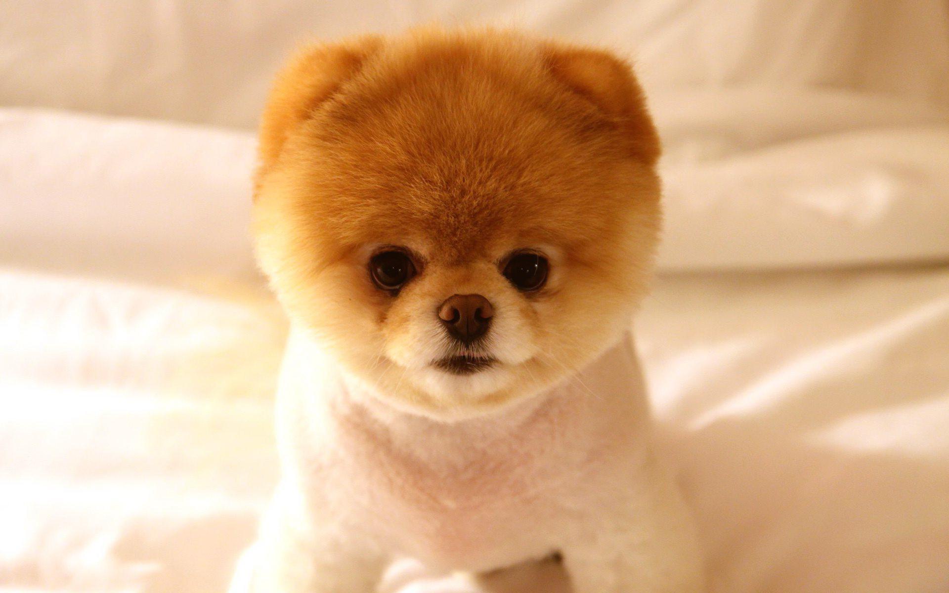 Pomeranian Dog: Pomeranian Pomeranian Dog Breed