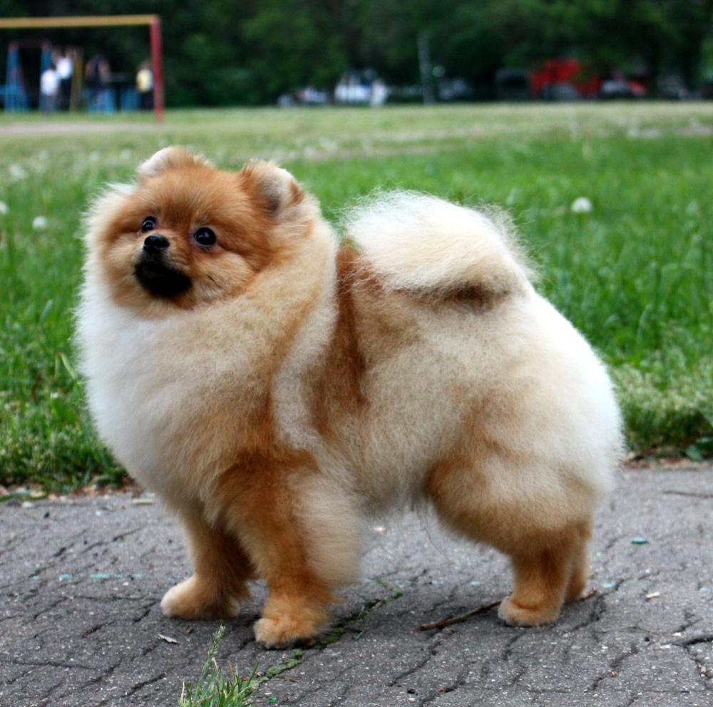 Pomeranian Dog: Pomeranian Pomeranian Dog For A Walk Breed