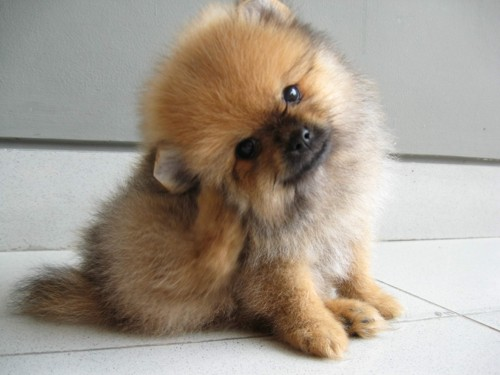 Pomeranian Dog: Pomeranian Pomeranian Dog Pictures Names Price Breed