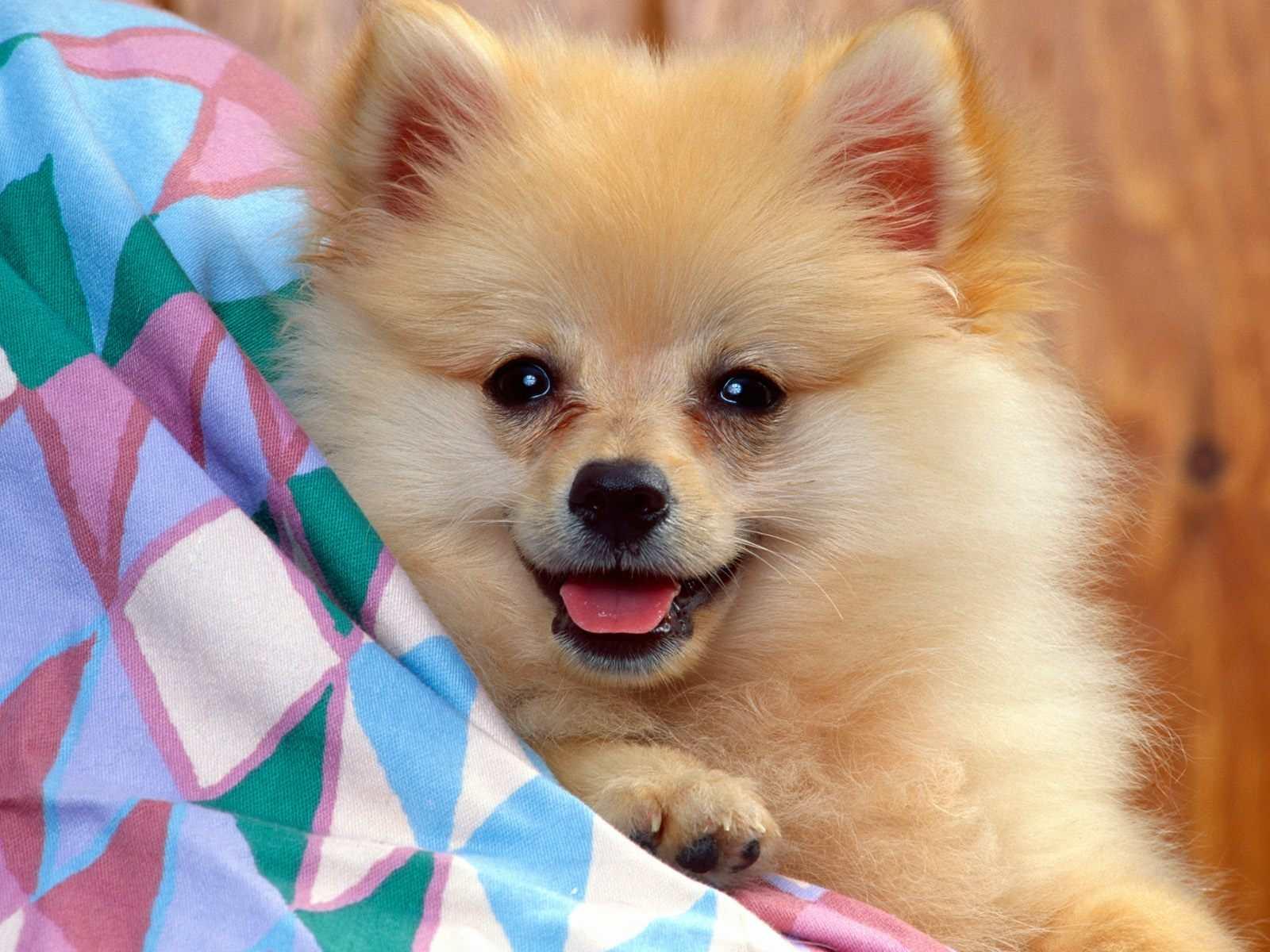 Pomeranian Dog: Pomeranian Pomeranian Dogs Breed
