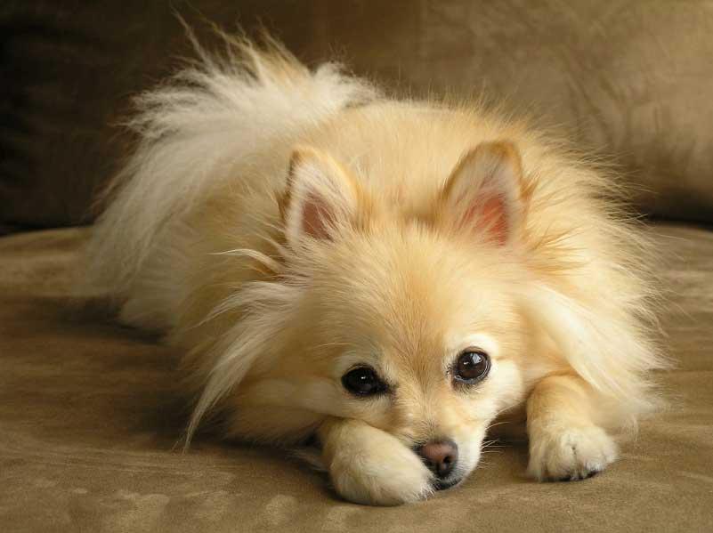 Pomeranian Dog: Pomeranian Pomeranian Dogz Breed