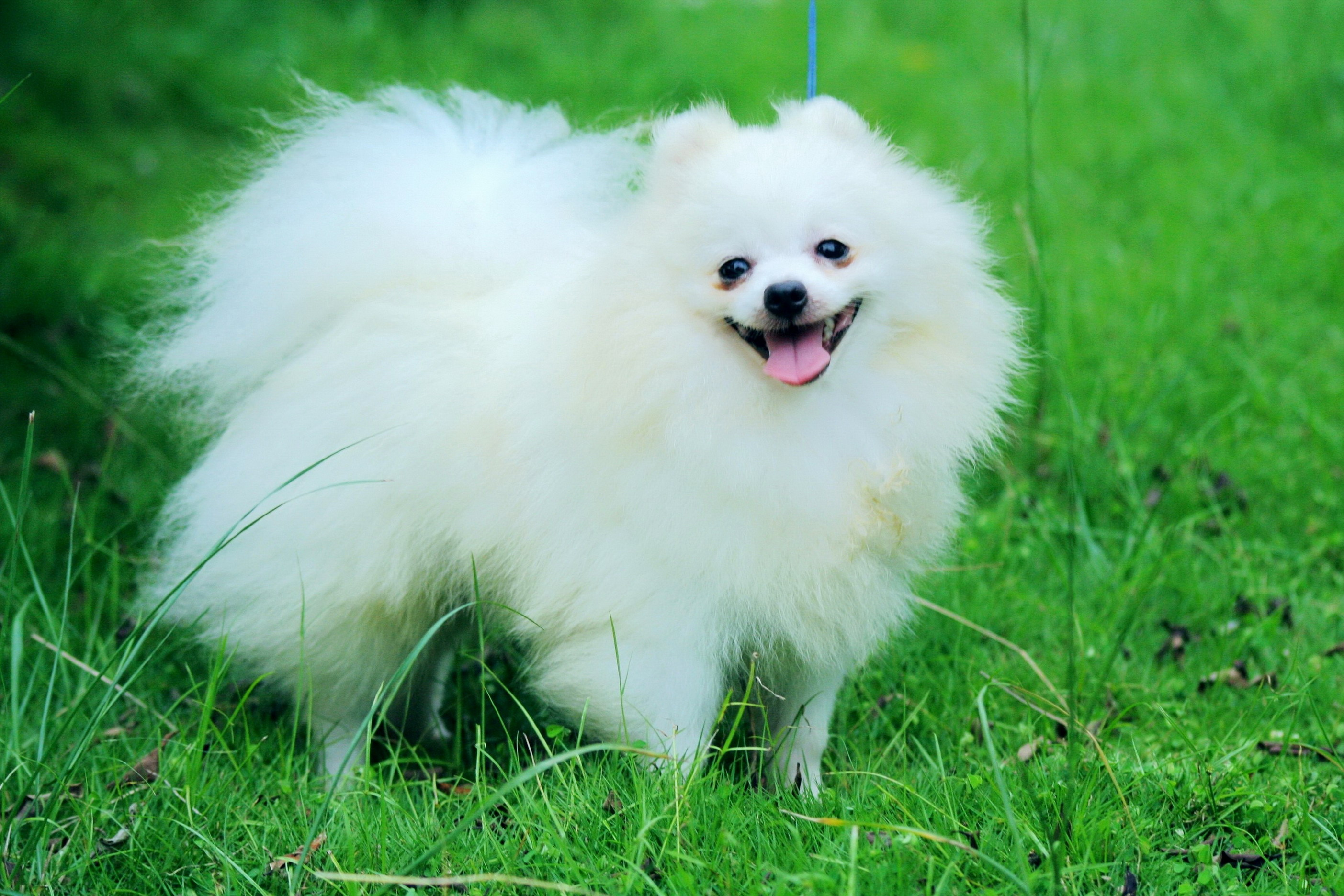 pomeranian dog breed information and pictures - HD2807×1872