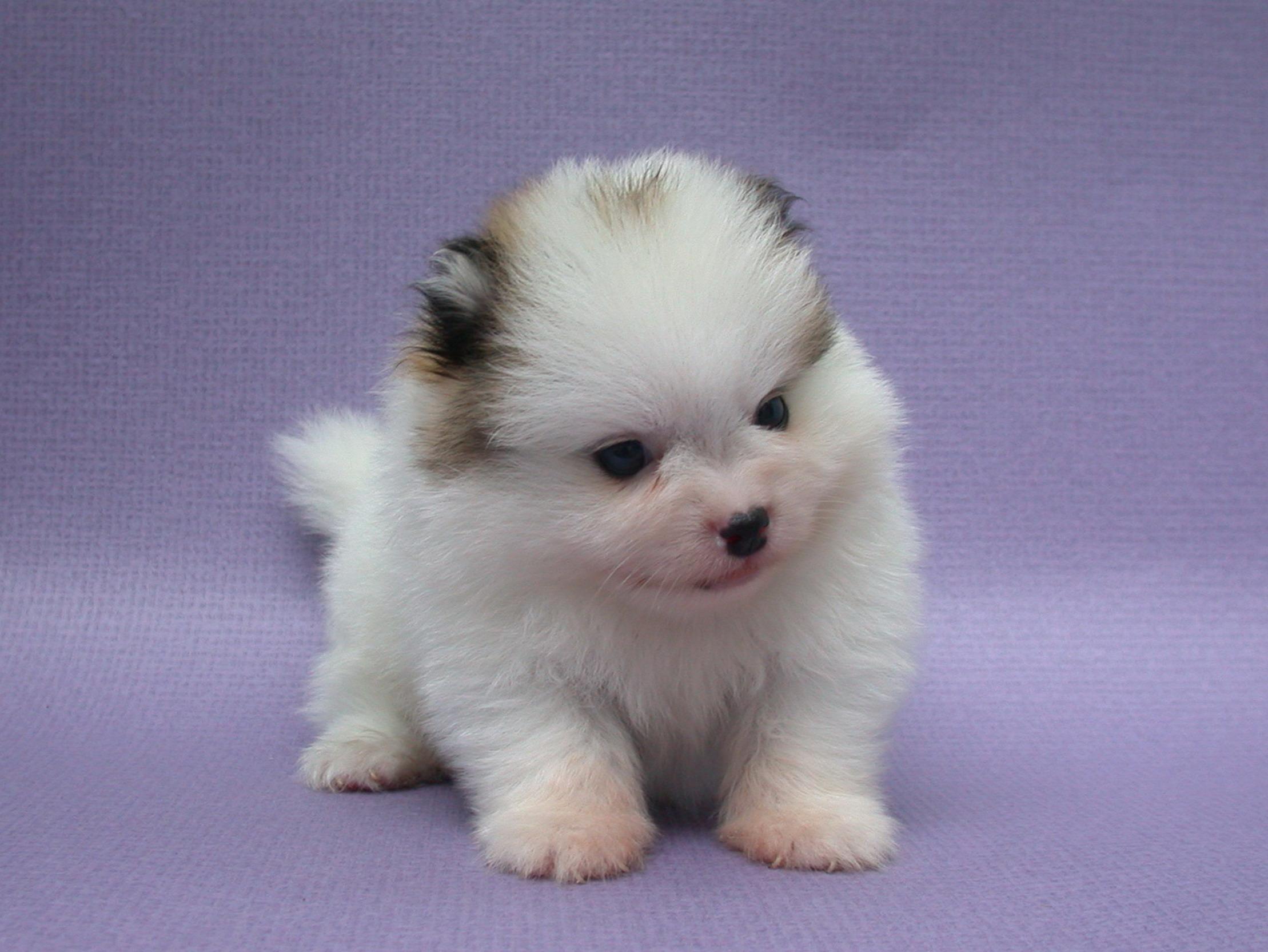 Pomeranian Dog: Pomeranian Pomeranianpuppiespicturesspics Breed