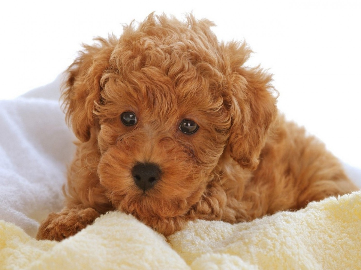 Poodle Puppies: Poodle Poodle Puppy Pictures Information Breed