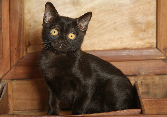 Bombay Kitten: Proof Black Bombay Cats Are Anything But Wicked Breed