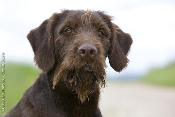 Pudelpointer Dog: Pudelpointer Poedelpointer Breed
