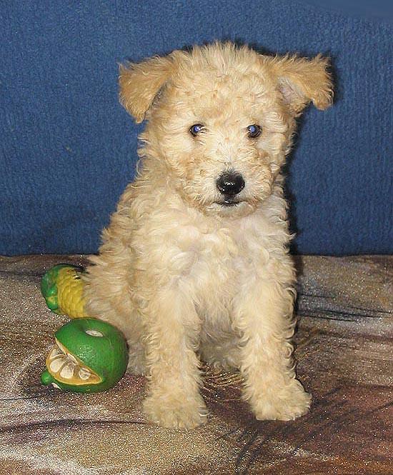 Pumi Puppies: Pumi Breed