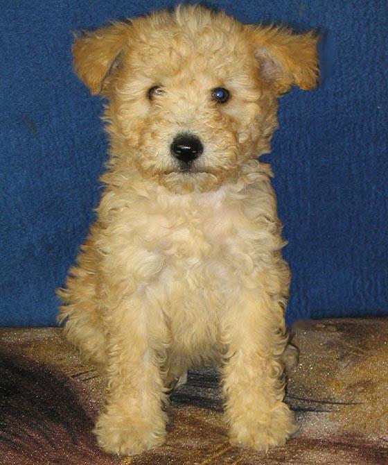 Pumi Puppies: Pumi Pumi Breed