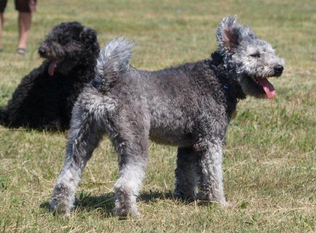 Pumi Puppies: Pumi Pumi Dog Breed