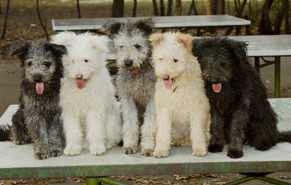 Pumi Puppies: Pumi Pumi Kopek Irki Breed