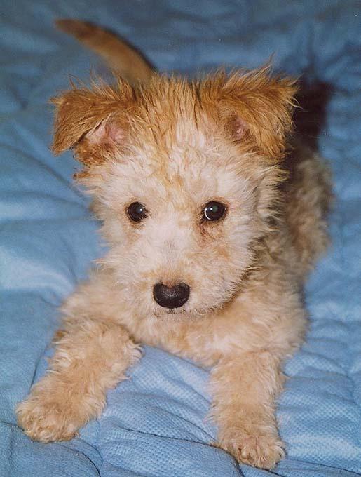 Pumi Puppies: Pumi Pumi Puppies Breed