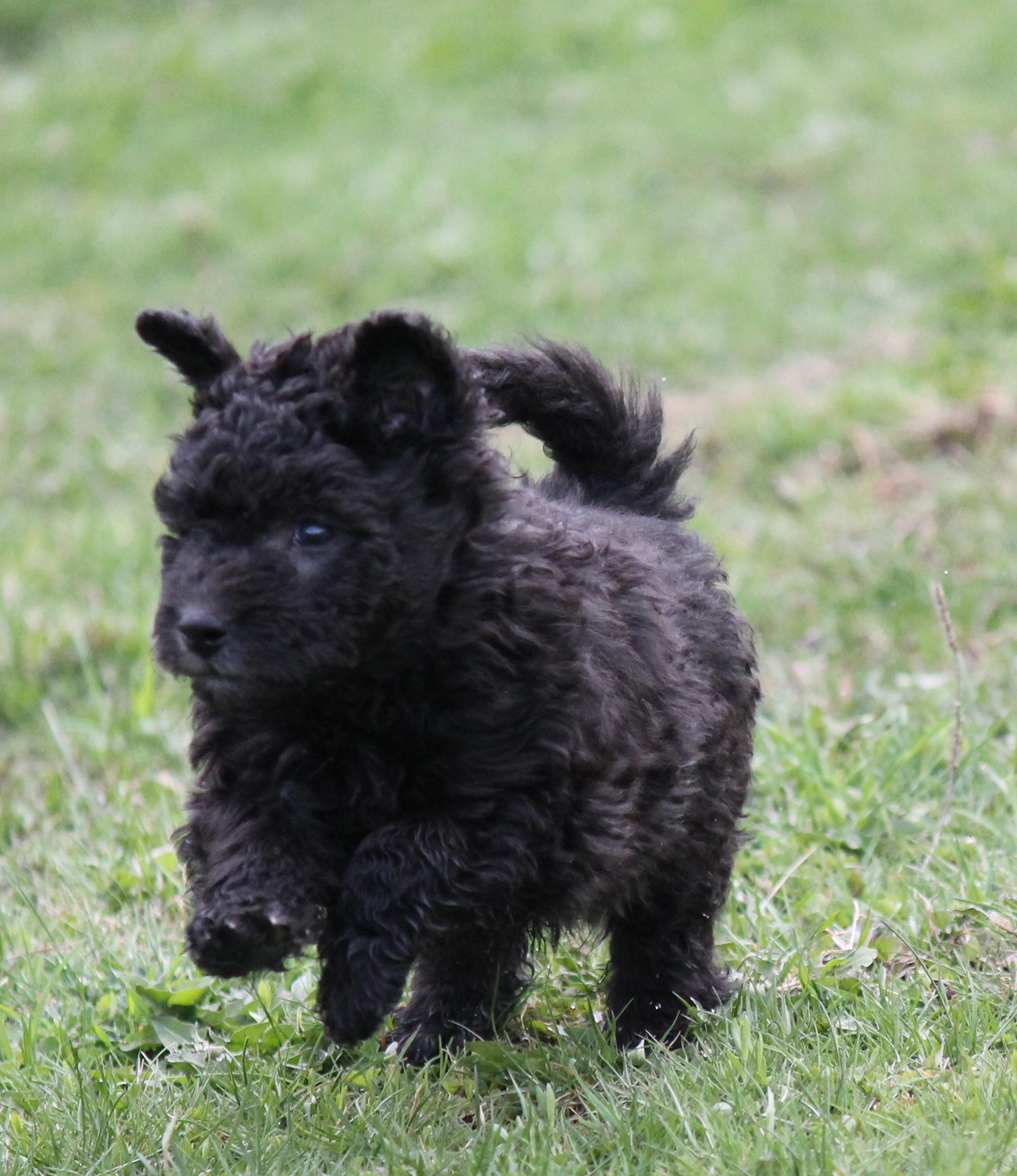 Pumi Puppies: Pumi Puppies Breed