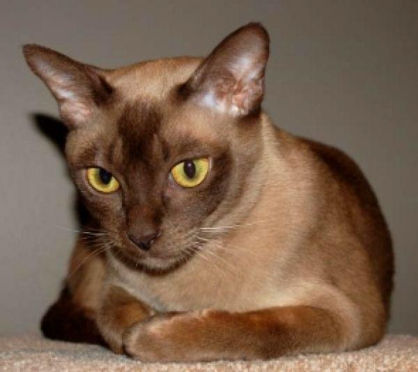 Raas Kitten: Raas Burmese Cat Breed
