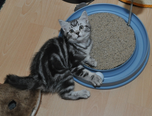 Raas Kitten: Raas Index Breed