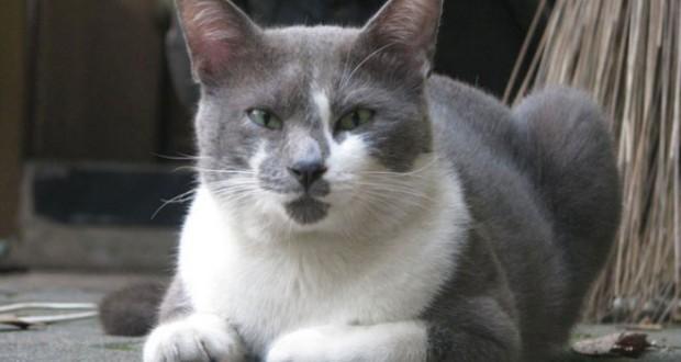 Raas Cat: Raas Kucing Raas Atau Kucing Madura Atau Kucing Busok Breed