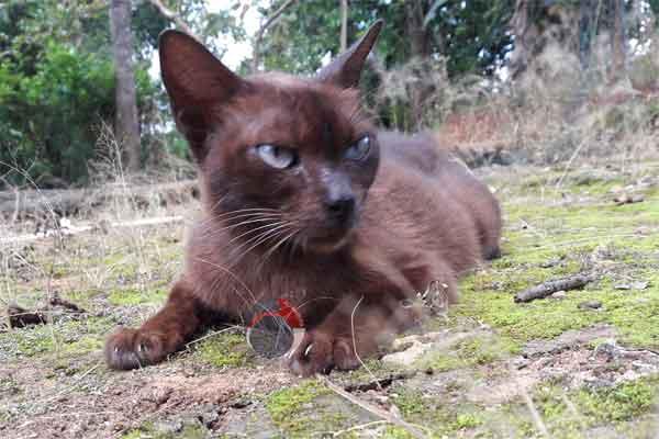 Raas Cat: Raas Kucing Raas Kucing Busok Dan Kucing Kecubung Breed
