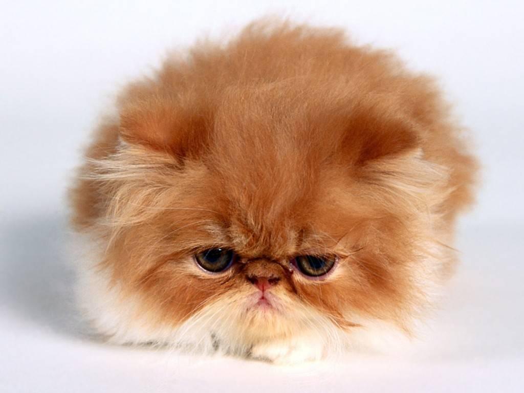 Raas Kitten: Raas Raas De Cachorro Pug Breed
