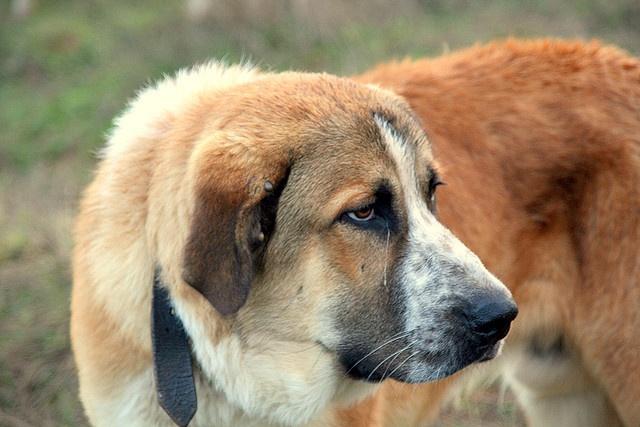 Rafeiro do Alentejo Puppies: Rafeiro Breed