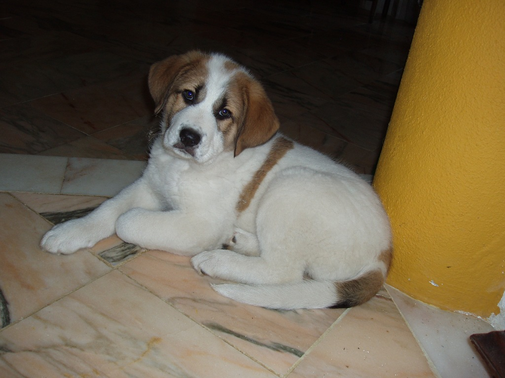 Rafeiro do Alentejo Puppies: Rafeiro Picture Of Array American Eskimo Dog Hd S Inn Breed
