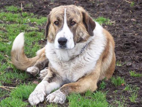 Rafeiro do Alentejo Dog: Rafeiro Pictures Breed