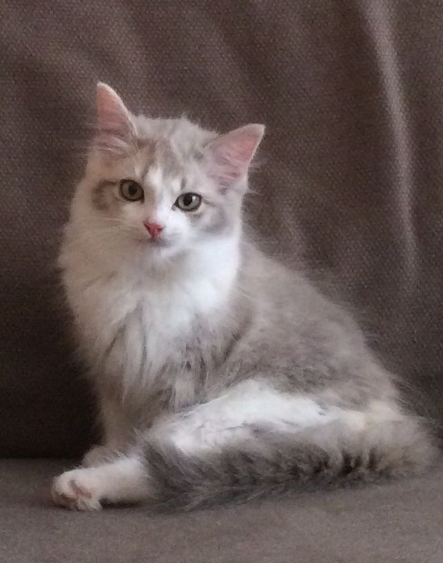 Ragamuffin Kitten: Ragamuffin Authentic Ragamuffin Kittens Matlock Breed