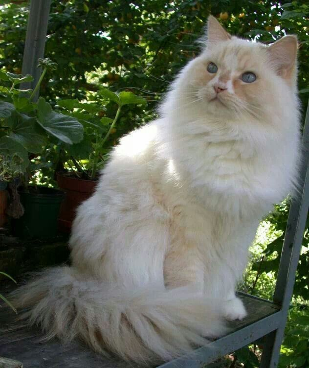 Ragamuffin Cat: Ragamuffin Breed