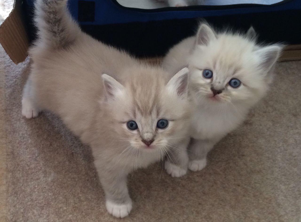 Ragamuffin Kitten: Ragamuffin Cmfnywzmzpbibraxrzwz Breed