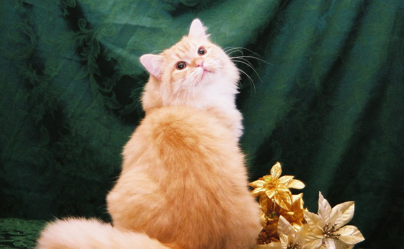 Ragamuffin Cat: Ragamuffin Collectionodwn Orange Ragamuffin Cat Breed