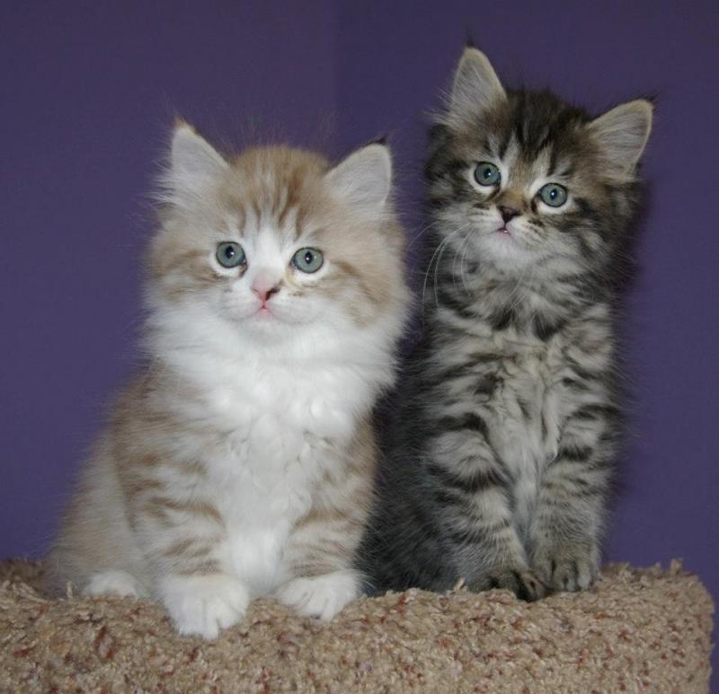 Ragamuffin Cat: Ragamuffin Kaerikrags Breed