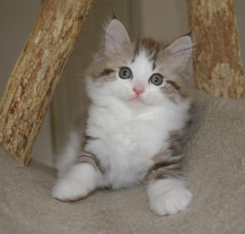 Ragamuffin Cat: Ragamuffin Kittens Breed