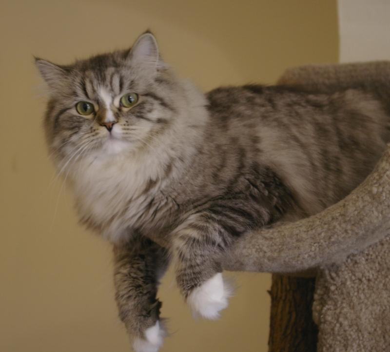 Ragamuffin Cat: Ragamuffin Ourragamuffins Breed