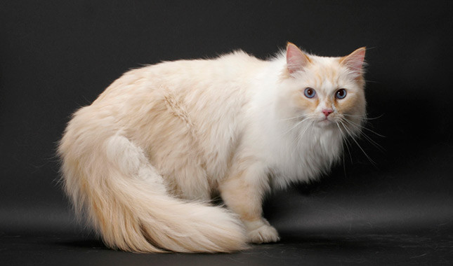 Ragamuffin Cat: Ragamuffin Ragamuffin Breed