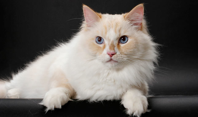 Ragamuffin Cat: Ragamuffin Ragamuffingroup Breed