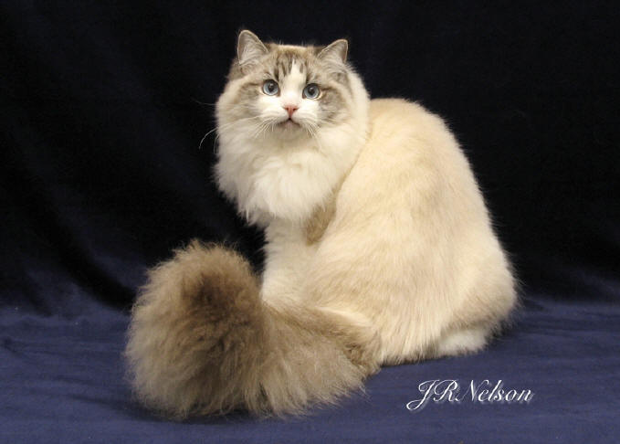 Ragamuffin Cat: Ragamuffin T Ragamuffin Breed