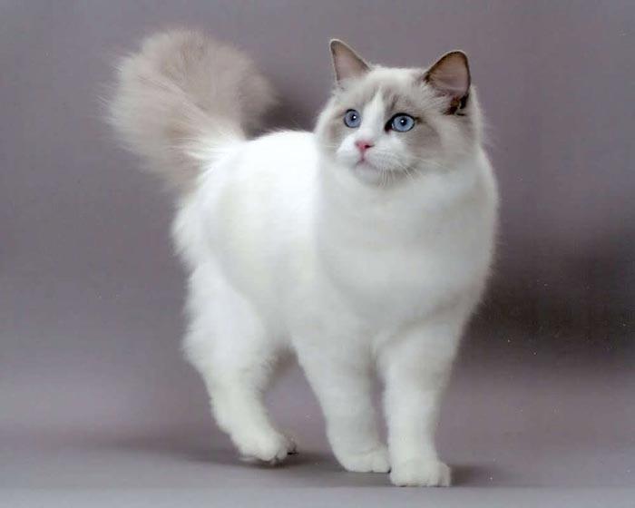Ragdoll Cat: Ragdoll Best House Cats Breed