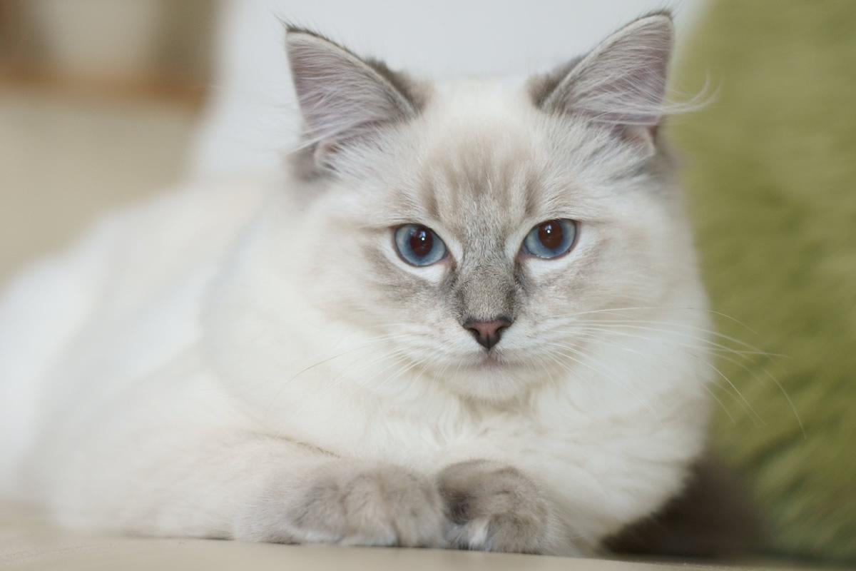 Ragdoll Cat: Ragdoll Breed