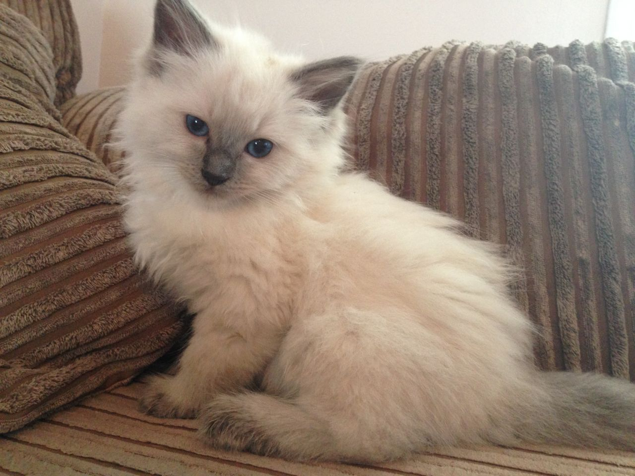 Ragdoll Kitten: Ragdoll Gorgeous Pure Ragdoll Kittens Queenborough Breed
