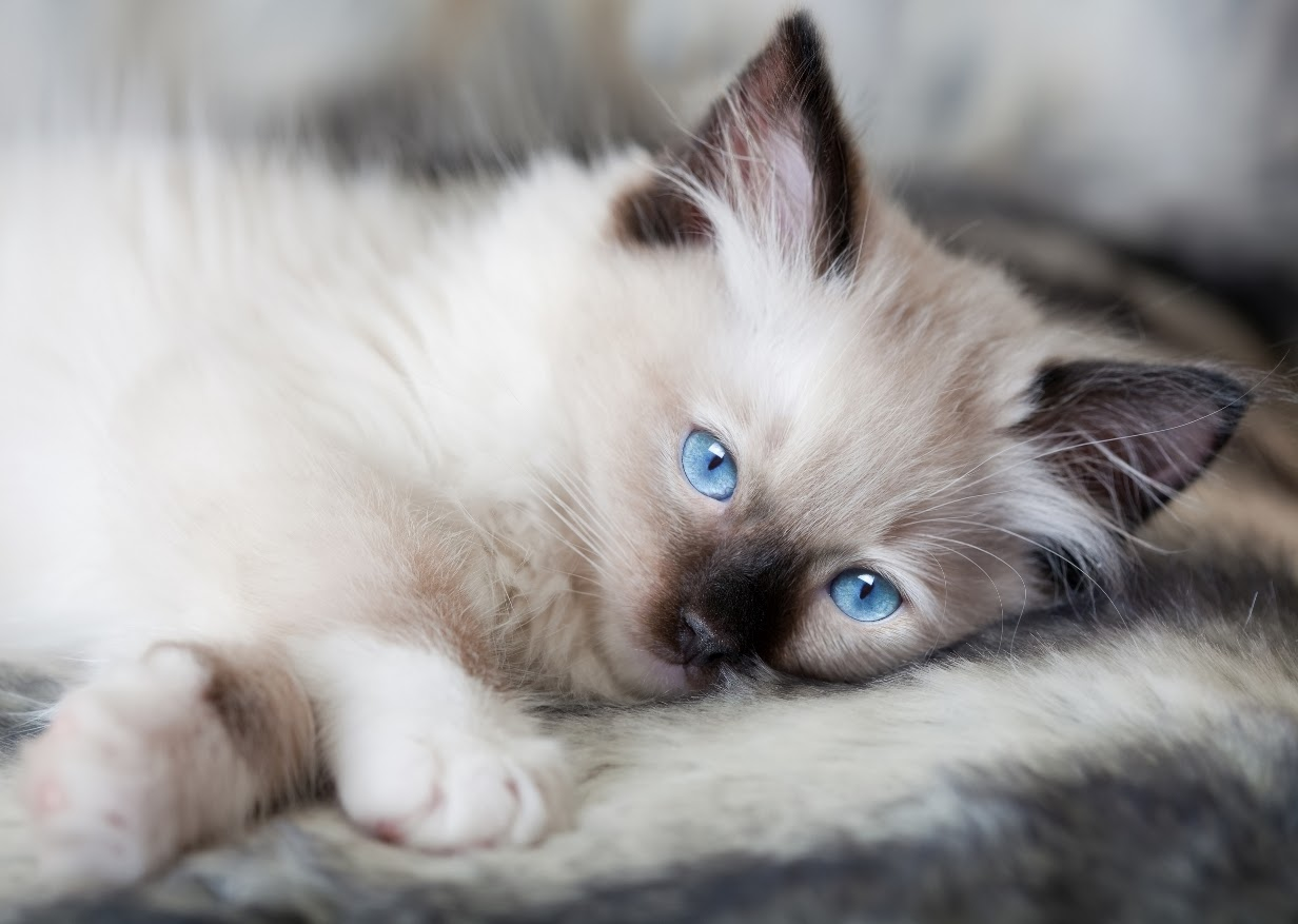 Ragdoll Cat: Ragdoll Information About Ragdoll Cat Breed