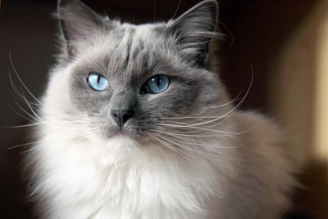 Ragdoll Cat: Ragdoll Point Ragdoll Cat Cat S Pictures S Ragdoll Cat Breed