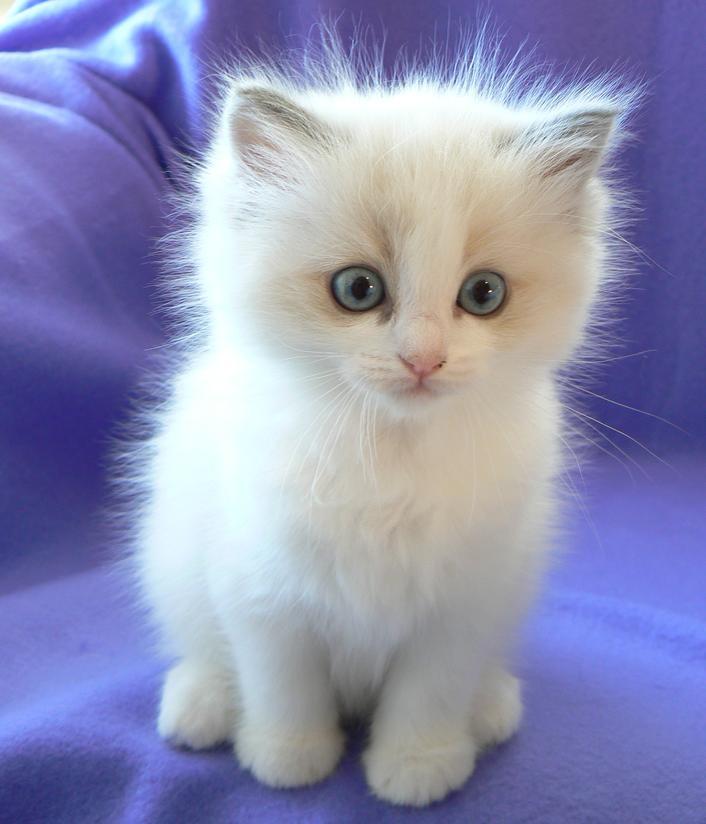 Ragdoll Cat: Ragdoll Ragdoll Cat Breed