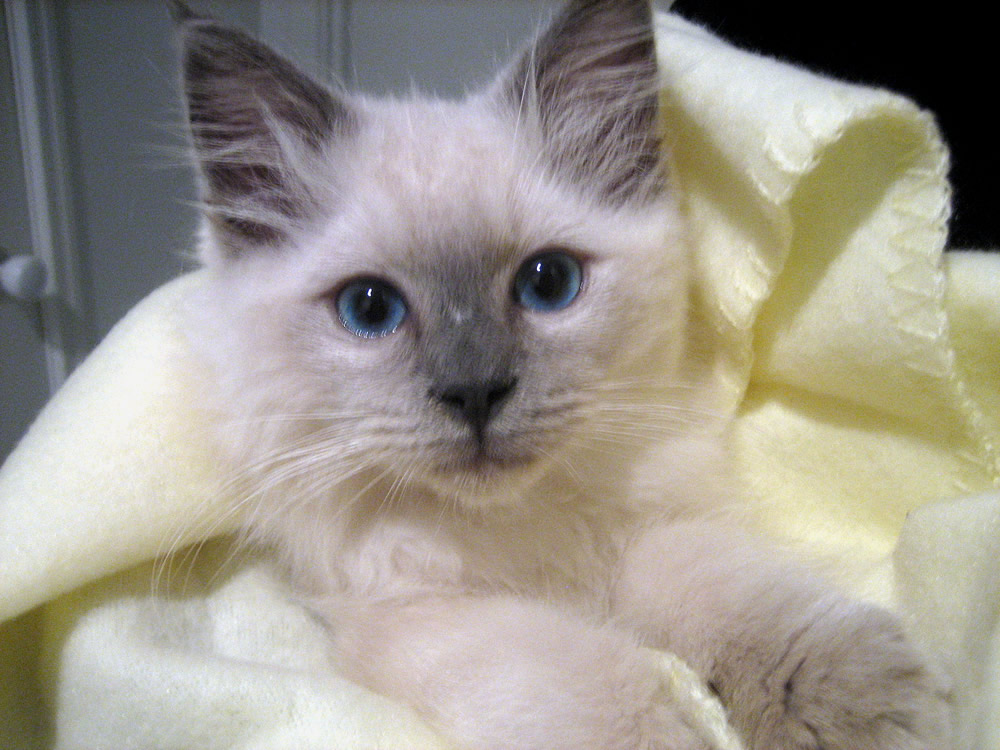 Ragdoll Cat: Ragdoll Ragdoll Cat Pictures And S Breed