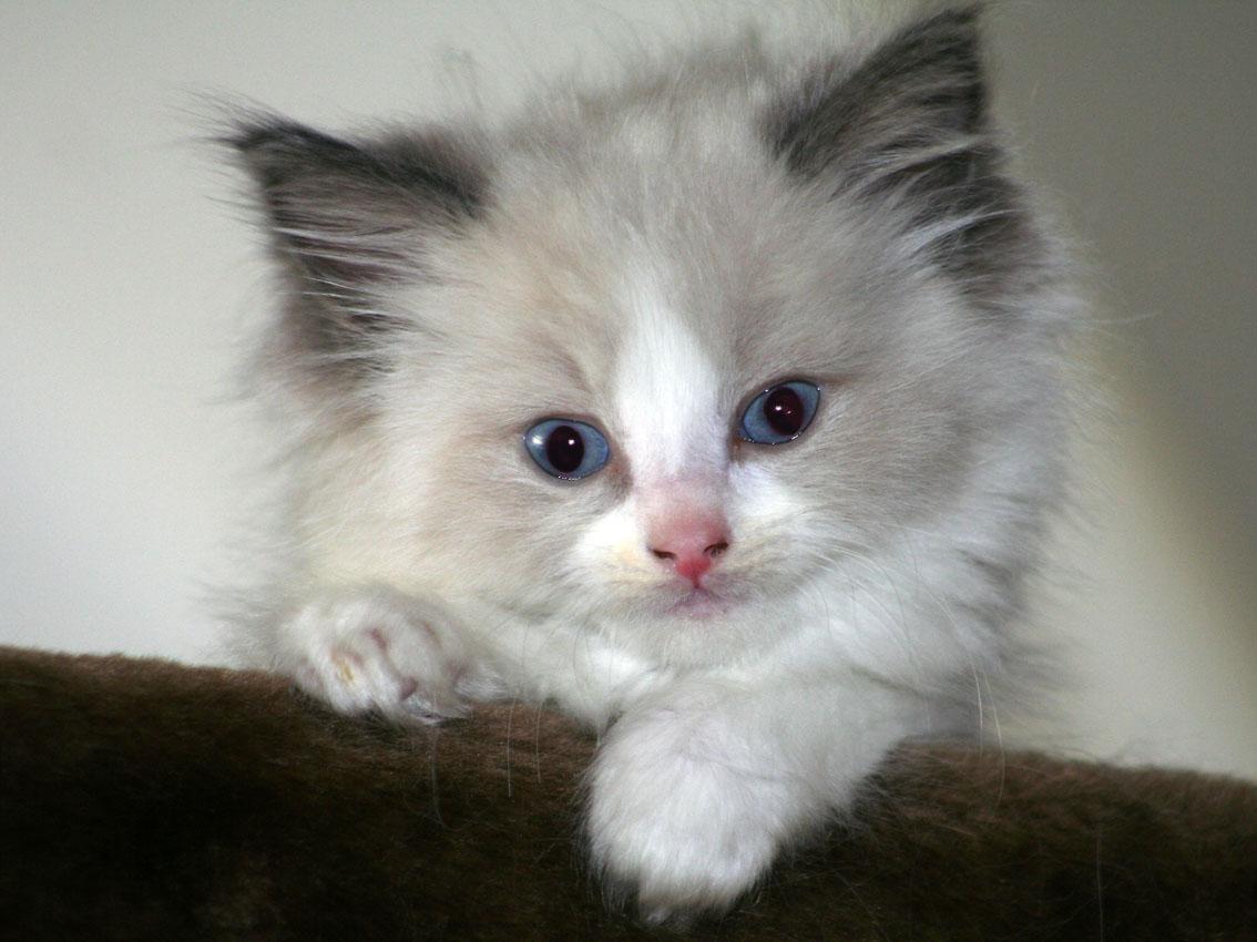 Ragdoll Cat: Ragdoll Ragdoll Cats Breed