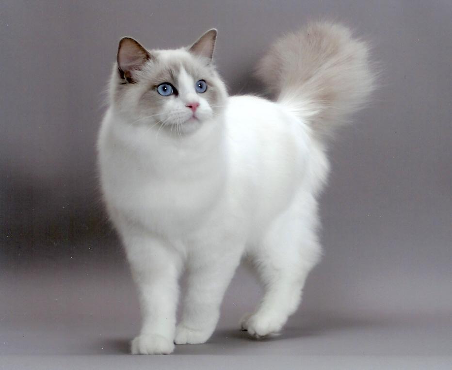 Ragdoll Cat: Ragdoll Ragdoll Cute Cats Breed