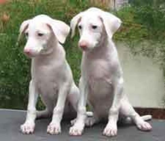 Rajapalayam Puppies: Rajapalayam Breed