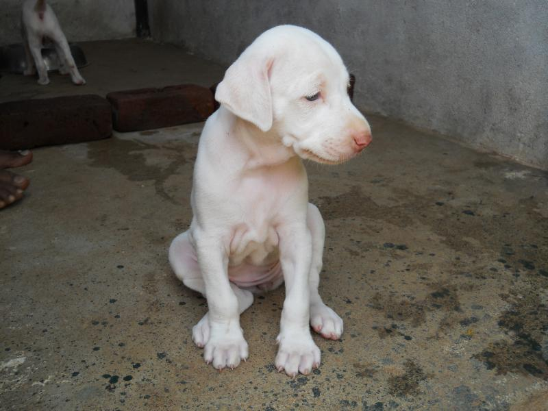 Rajapalayam Dog: Rajapalayam Chandrukennel Rajapalayam Breed